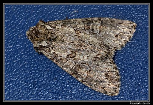 Noctuelle nébuleuse (Polia nebulosa)