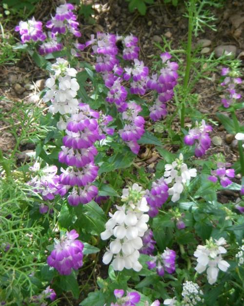 Collinsia heterophylla 18608048324_aebf51653a_o