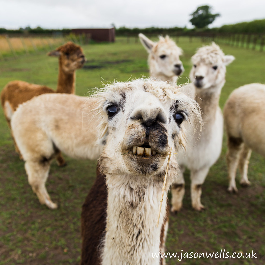 Smiling Alpaca | Wide angled shot of an Alpaca posing for ...