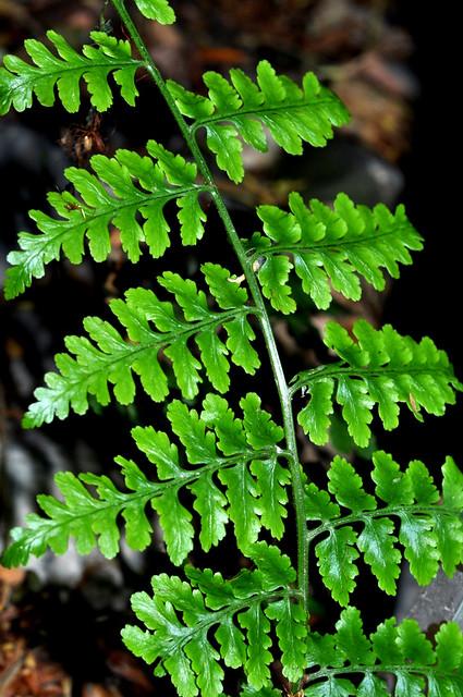 Revwattsia fragilis  (2)