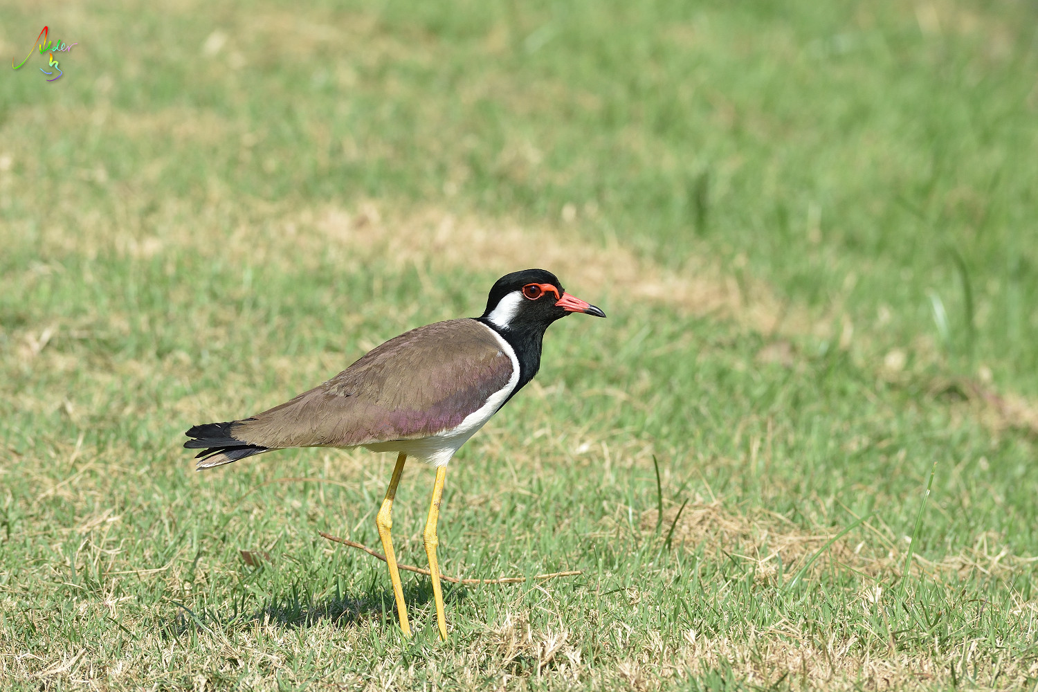 Red-wattled_Lapwing_8889