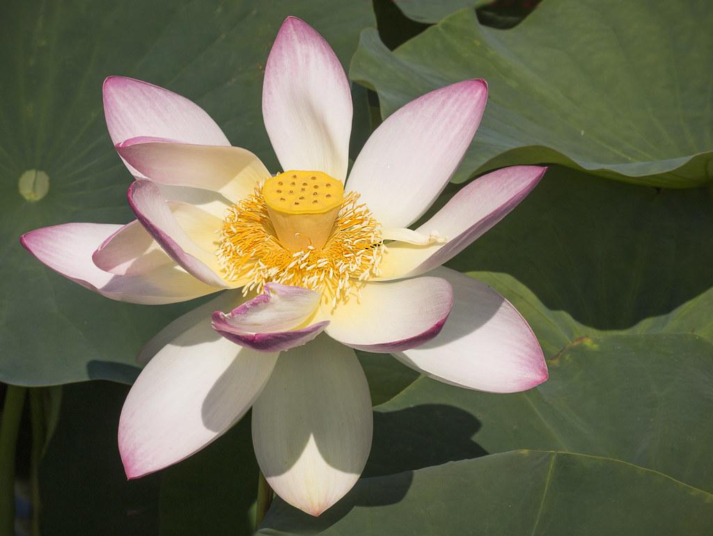 Open lotus liz west flickr open lotus by muffet open lotus by muffet izmirmasajfo