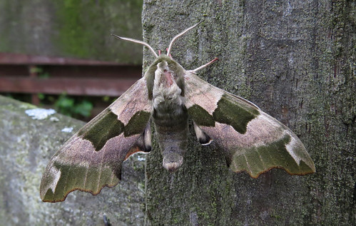 Lime Hawk-moth Mimas tiliae Tophill Low NR, East Yorkshire June 2015