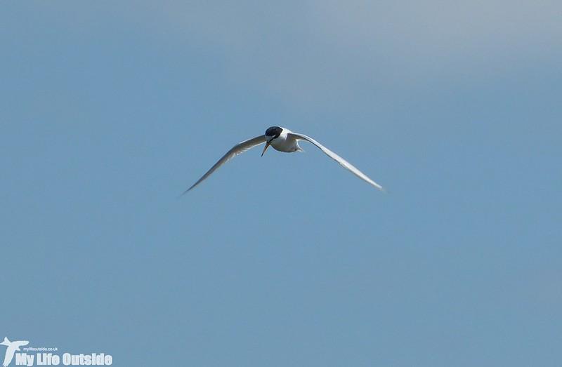 P1130614 - Little Tern, RSPB Titchwell