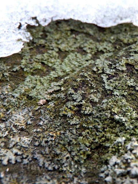 lichens 2