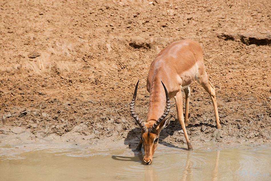 Impala, Aepyceros, melampus, uMkhuze, Game, Reserve, Mkuze, South, Africa, Kaido Rummel