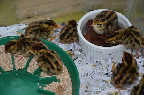 quail chicks June 15 (2)
