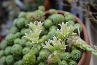 DSC_0012 Rosularia chrysantha ロスラリア・クリサンサ