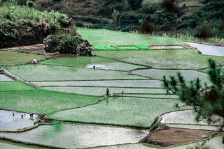 SAGADA RICE TERRACES_6