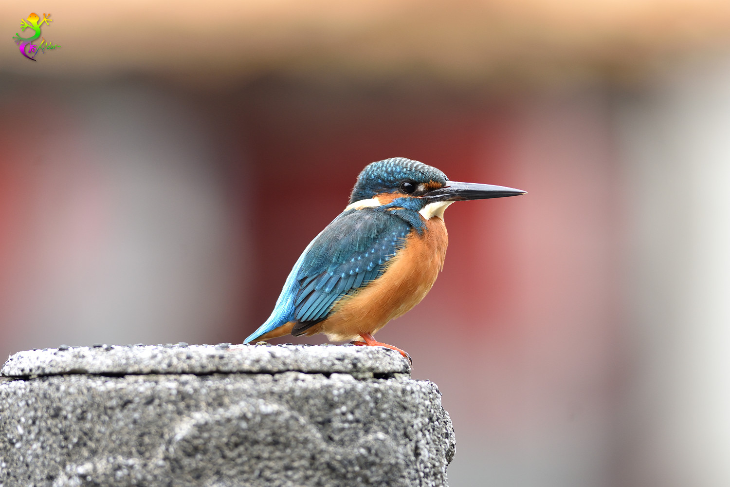 Common_Kingfisher_8832