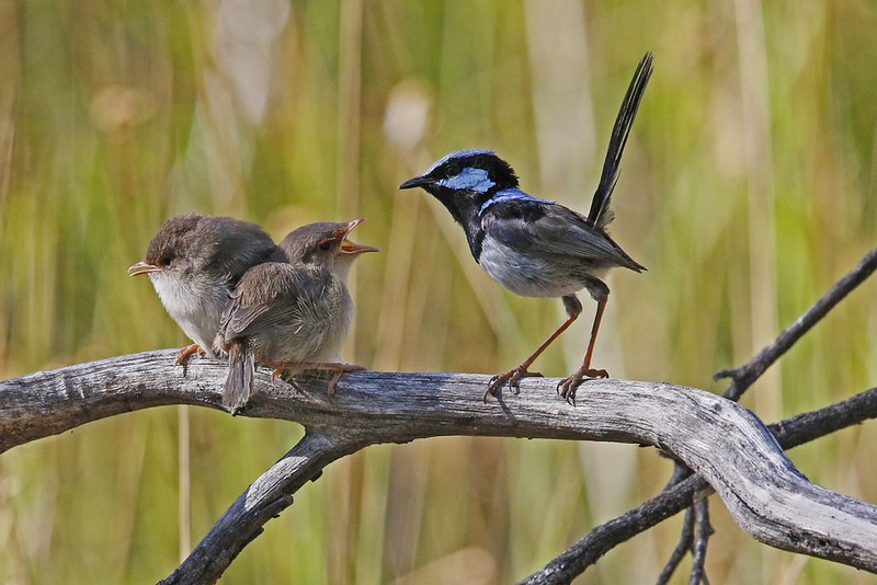 Superb Fairy-wrens N  Bartlett