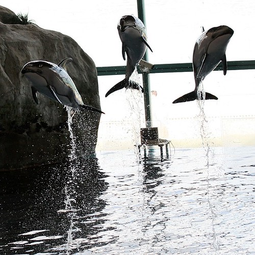 Dolphins Leaping at Shedd | by Donncha Ó Caoimh
