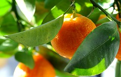 Home grown Orange | by algo