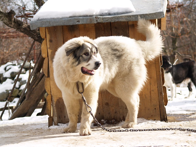 Bulgarian Shepherd Dog | Flickr - Photo Sharing!