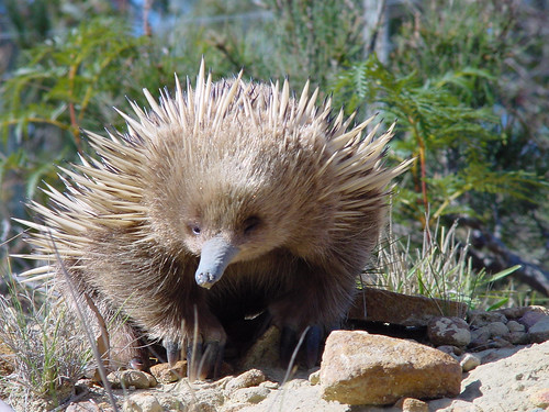 Young Echidna, Coles Bay | by ausemade