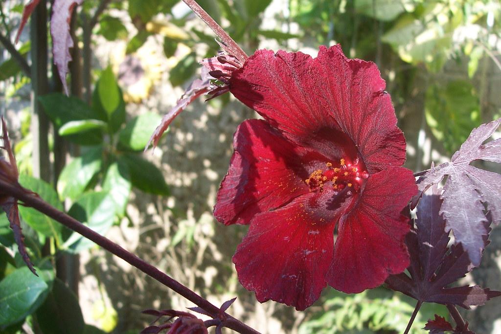 Flor De Jamaica Flor De La Jamaica Luego Probare Si