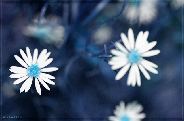 Blue Daisy Flowers Blue Daisy Flowers by al