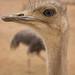 Ostrich Head Profile