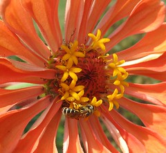 hoverfly on zinnia | by mimbrava