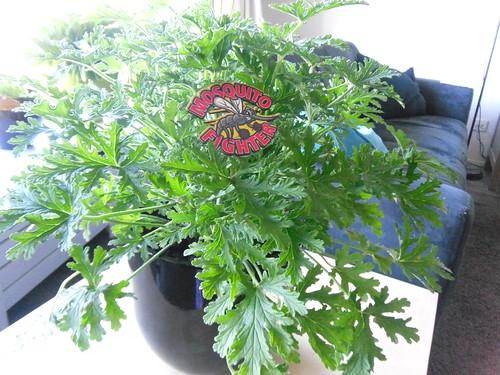 Lemon plant in house