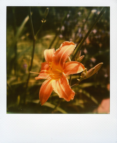 Hemerocallis | by @necDOT