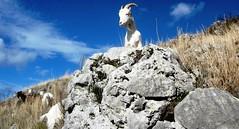 capra pastore