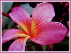 Lovely rose-pink Plumeria (Frangipani), 3 Feb 2017
