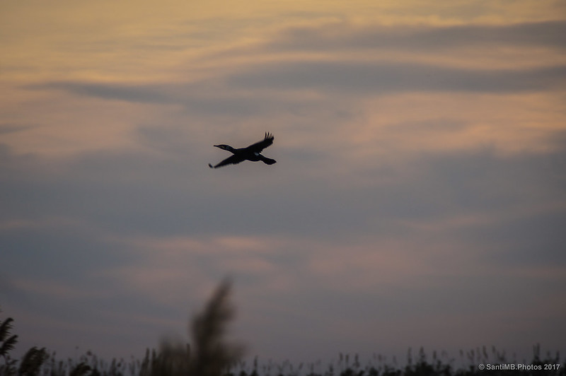 Un cormorán en vuelo