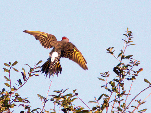 Northern Flicker 20170206