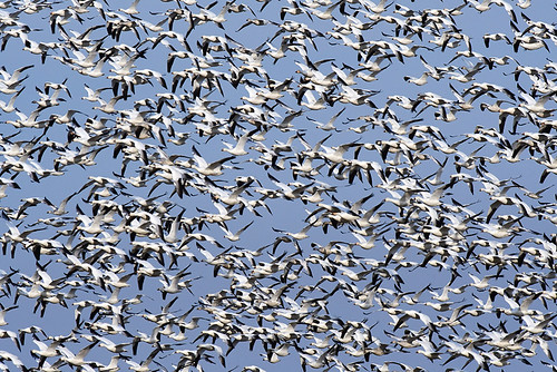 NJ: Snow Geese Spooked