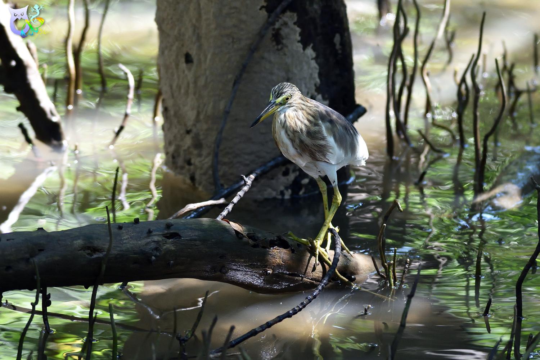 Javan_Pond_Heron_2063
