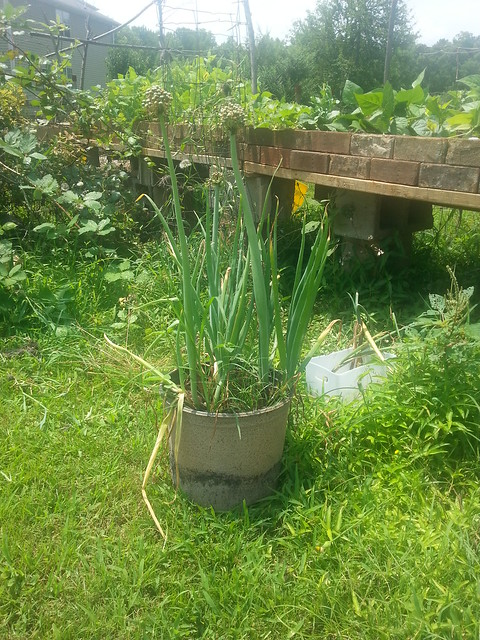 Regrown Onions 4