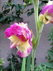 Pink and cream gladiola