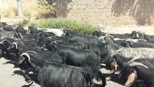 goats2