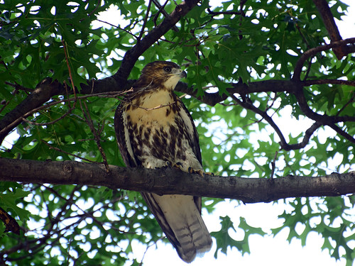 JHW Hawk Fledgling - 4245