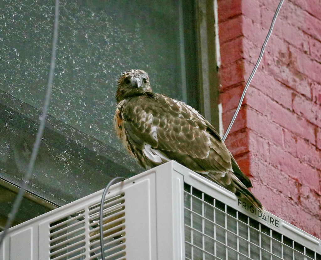 Fledgling #1 rests on an a/c