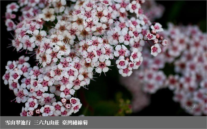 雪山翠池行__三六九山莊_臺灣繡線菊