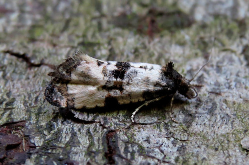 Cochylis atricapitana Tophill Low NR, East Yorkshire June 2015