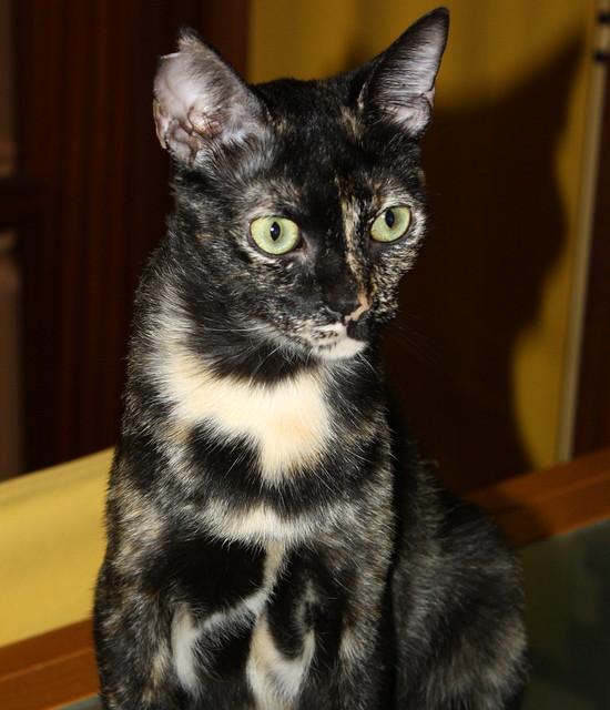 FALLECIDA- Mandala, preciosa gatita carey dulcísima de ojos verdes esterilizada, nacida en Julio´14, en adopción. Valencia. 19818646719_07d5fc0523_z