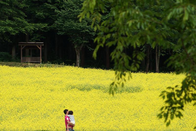 八海醸造 菜の花畑_201505_NO3