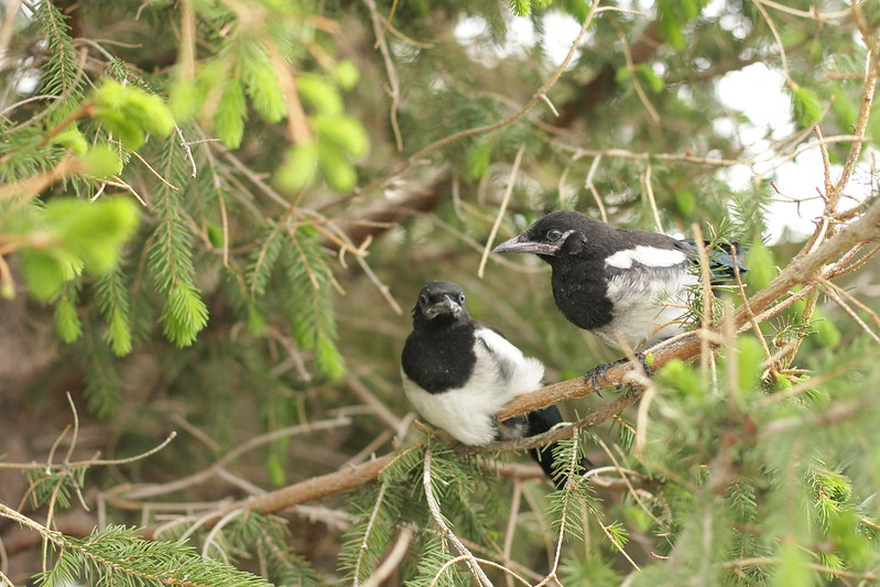 juvenile magpies