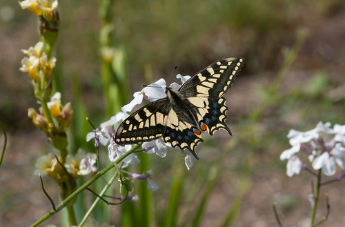 Swallowtail | by markhows