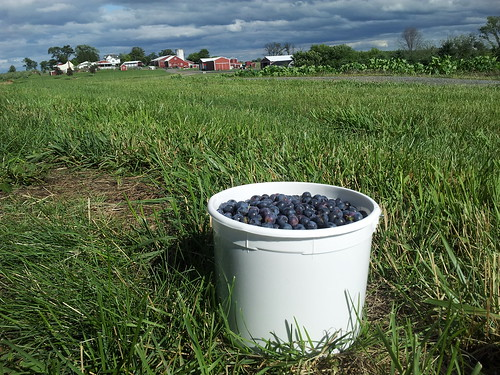 A Gallon of Hand-Picked Blueberries at Homestead Farm