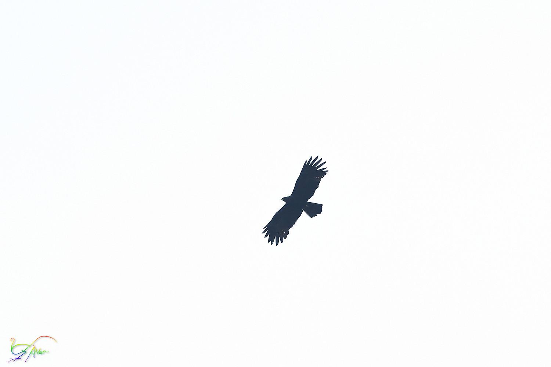 Black_Eagle_8002