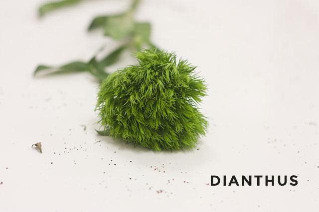 Dianthus-01