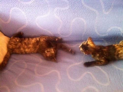 Eclipse, gatita carey dulcísima de cara bicolor espectacular nacida en Octubre´16, en adopción. Valencia. ADOPTADA. 31189811593_bd80395d9b
