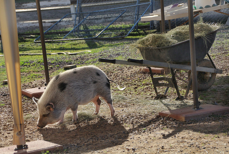 Grazin' Pigs Rescue