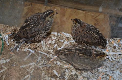 quail June 15 (10)