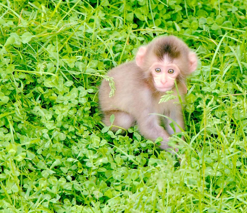 Japanese Macaque (Macaca fuscata)_14