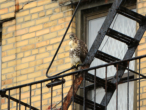 Wright Park Hawk Fledgling - 3359